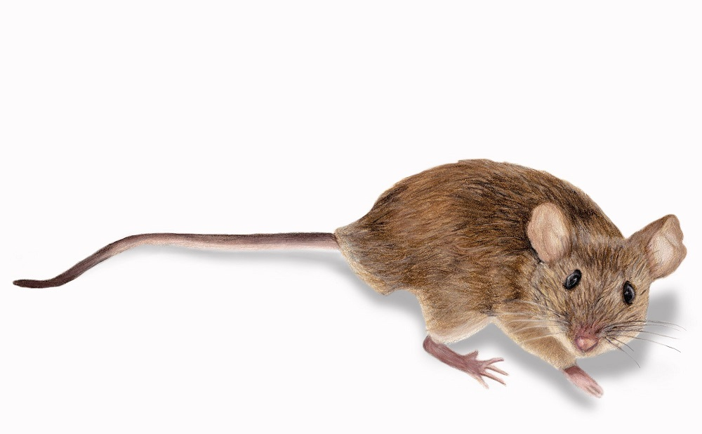 Mice Control Vaughan AweSomePest