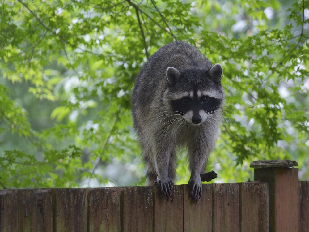 Raccoon Control Vaughan AweSomePest