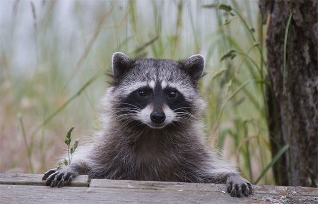 Raccoons Control Toronto AweSomePest