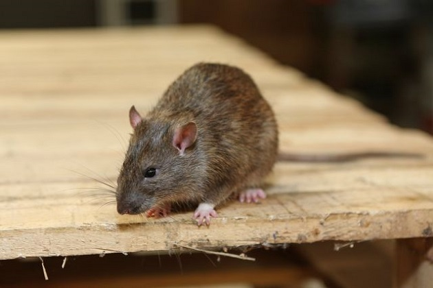 Rats Control Toronto AweSomePest