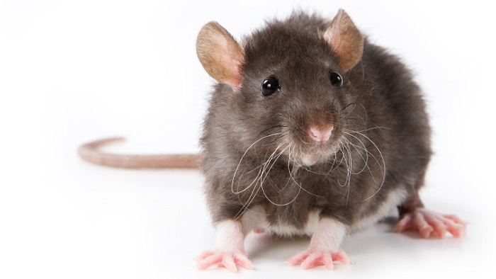 Rats Control Awesomepest