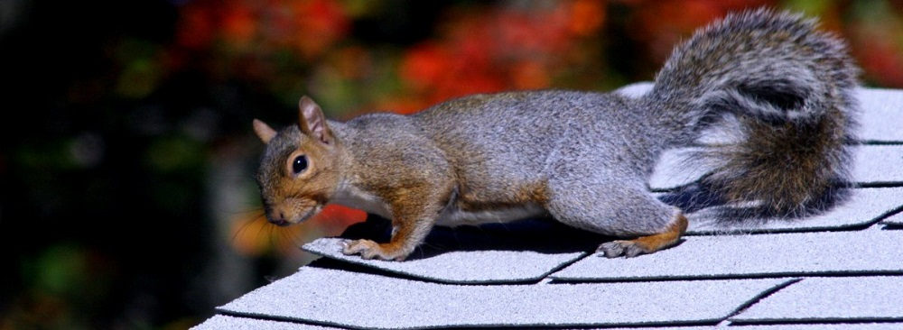 Squirrels Control Vaughan  AweSomePest