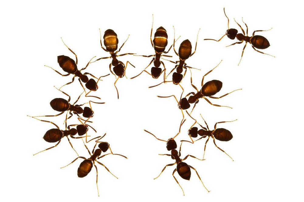 Ants Control Brampton Awesomepest