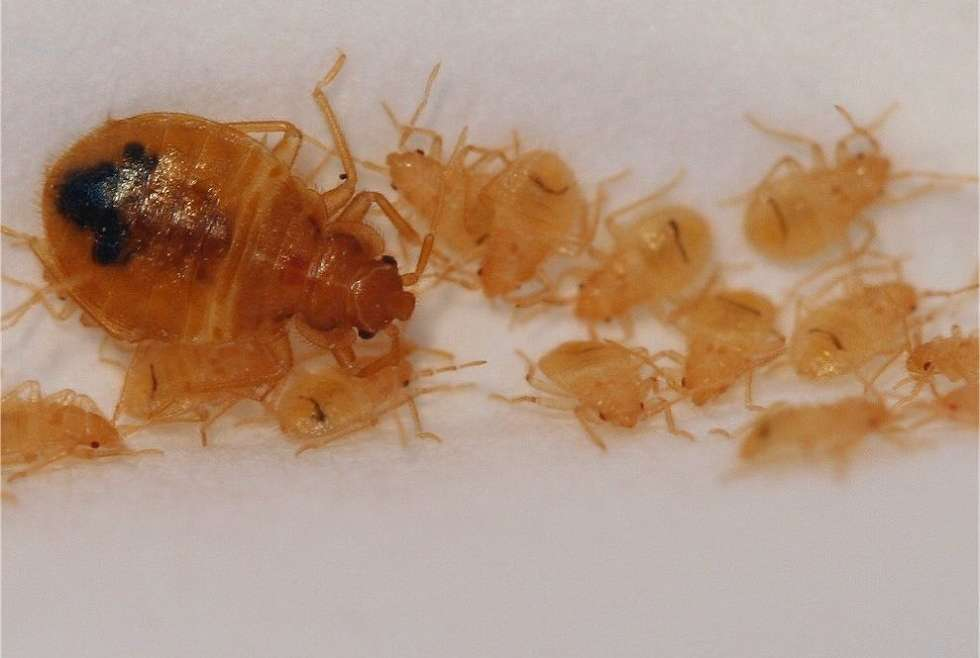 Control Bed Bugs Infestations Awesomepest
