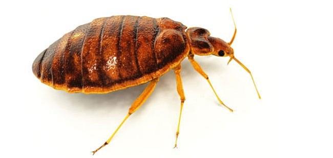 Bed Bugs Exterminators Toronto Awesomepest
