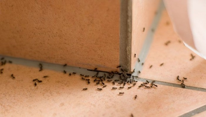 Home Insulation to prevent from Carpenter Ants Awesomepest