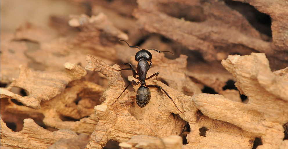 Carpenter Ants Treatment Awesomepest