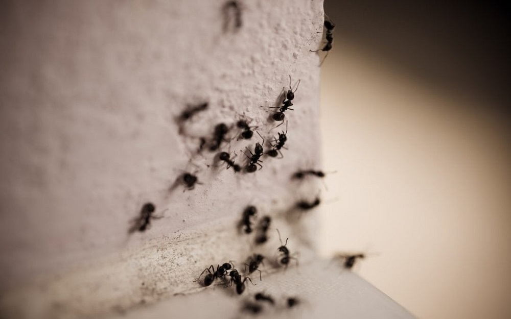 as Carpenter Ants Cause Damage Awesomepest