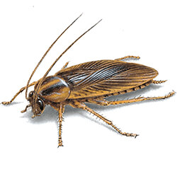 Cockroach illustration