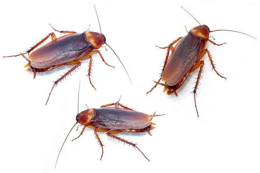 Cockroaches Extermination Toronto  AwesomePest Control