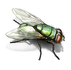 Illustration of Fly