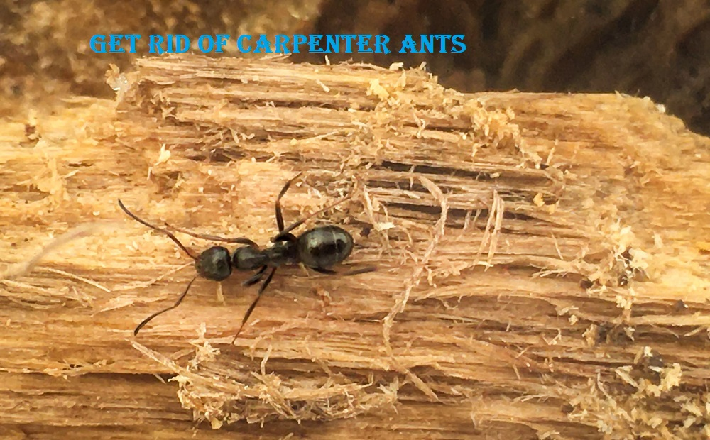 Get Rid of Carpenter Ants Awesomepest