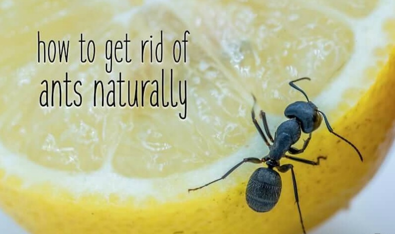 Get rid of Pavement Ants Naturally best method