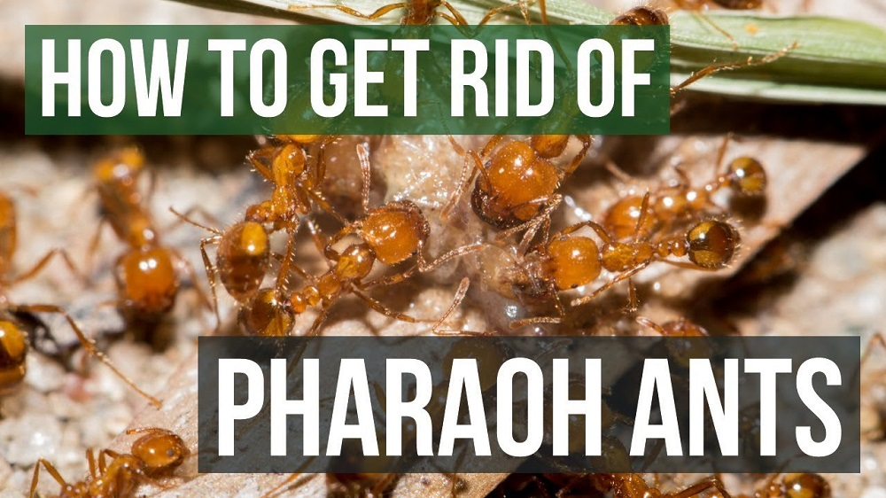 How to Get Rid of Pharaoh Ants AwesomePest