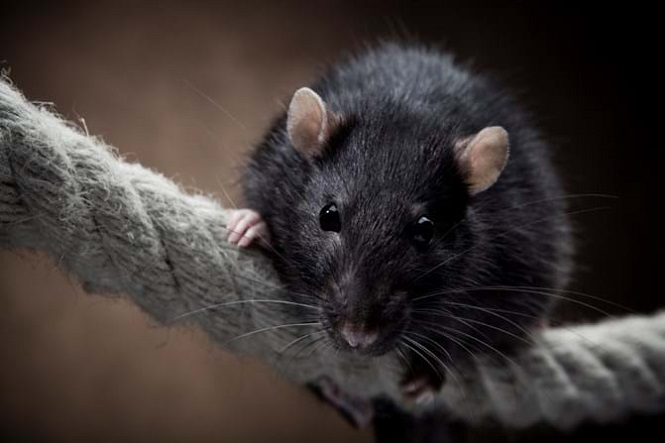 Mice Control Services Awesomepest
