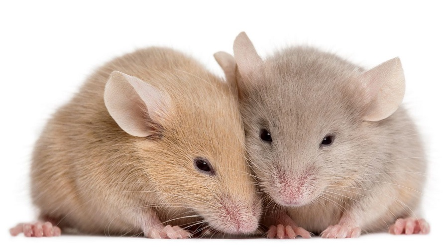 Mice Extermination Mississauga AwesomePest