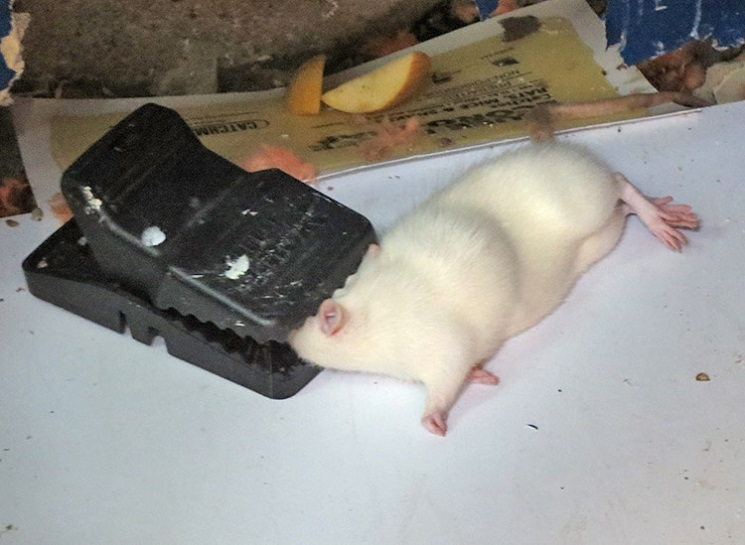 Mice Extermination Services Awesomepest Control