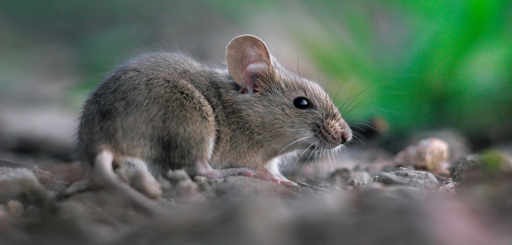 Mice Control Toronto Awesomepest