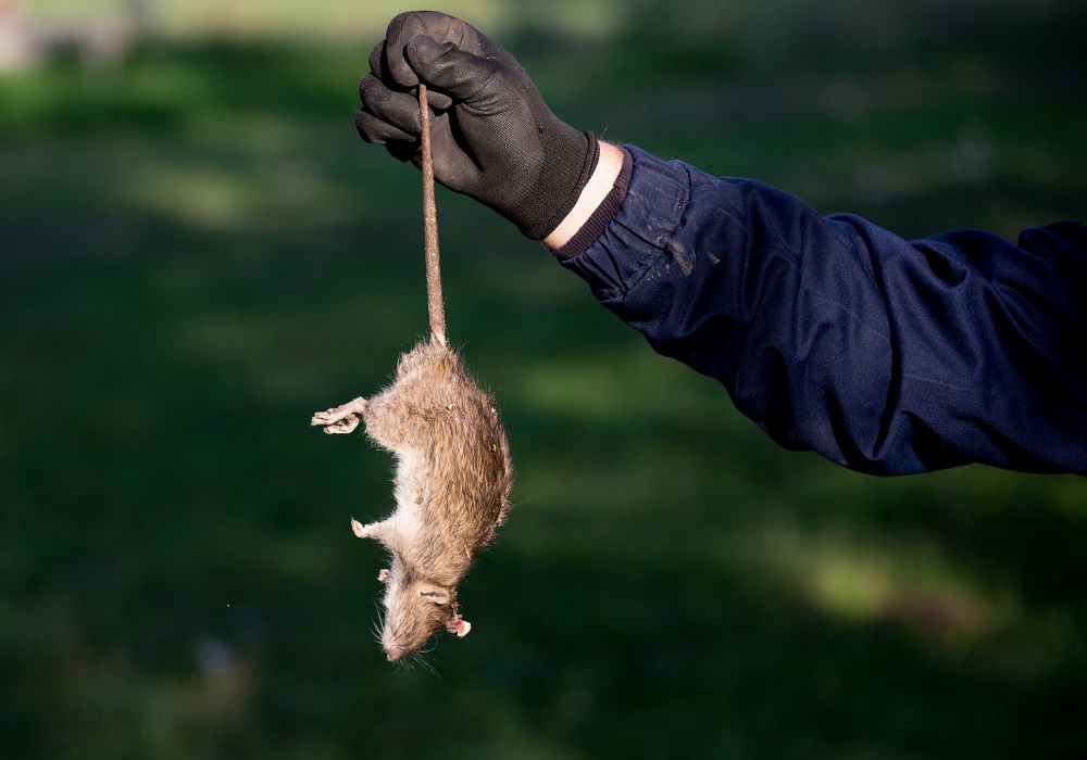 How to get rid of Mice? Awesomepest