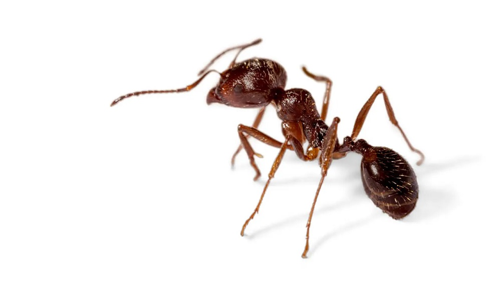 Pavement Ants Treatment Awesomepest