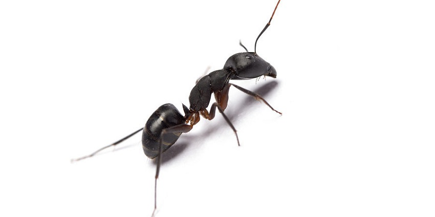 Remove Pavement Ants Awesomepest