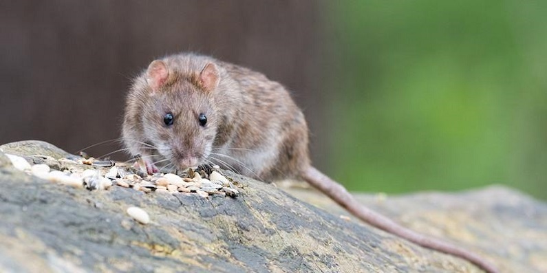 Pest Control Mississauga AwesomePest Control  Mice Extermination