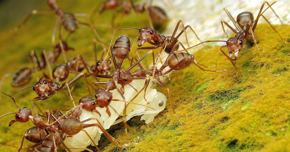 Get Rid of Pharaoh Ants AwesomePest