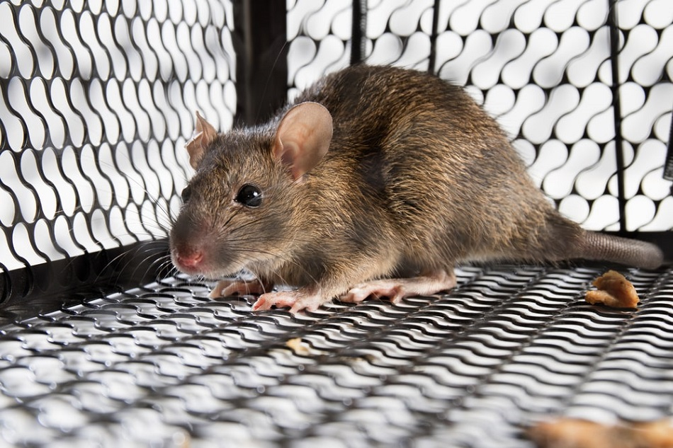 Rat Control Brampton Services AwesomePes