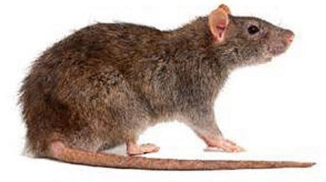 Rats Control Services Awesomepest