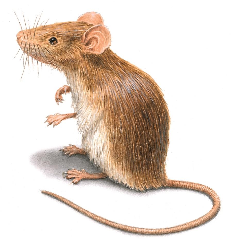 Rats Extermination Mississauga AwesomePest