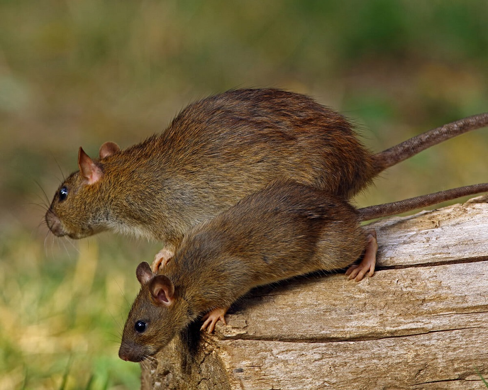 Rats Control Services Maple Awesomepest