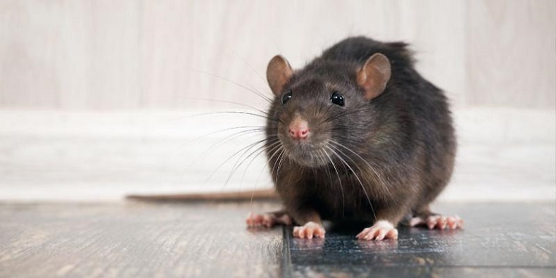 Rodents Extermination Mississauga AwesomePest