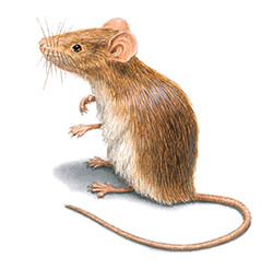 Rodent Illustration