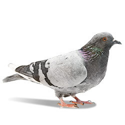 illustration of a pigeon