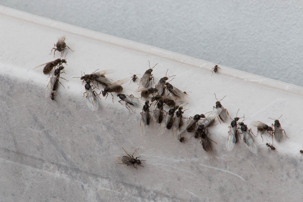 preventions to remove Pavement Ants Awesomepest