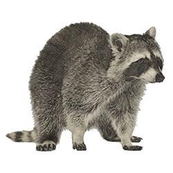Illustration of a raccoon