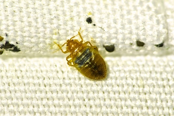 Bed Bug Removal Toronto AwesomePest