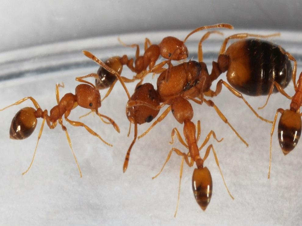 Characteristics of Pharaoh Ants Awsomepest