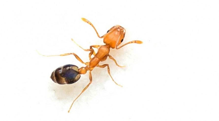 Characteristics of Pharaoh ants Awesomepest