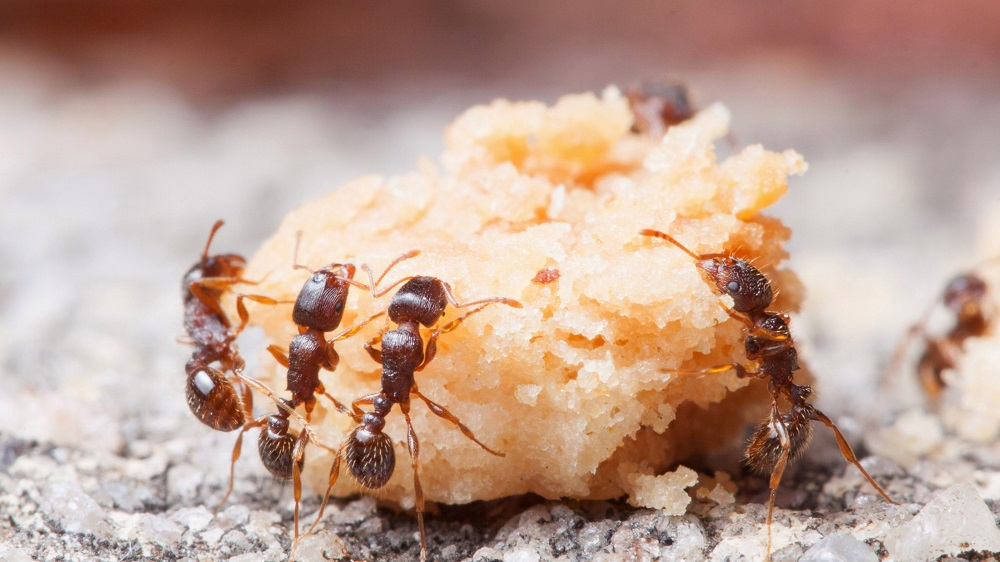 Diet of Pavement Ants Awesomepest Control