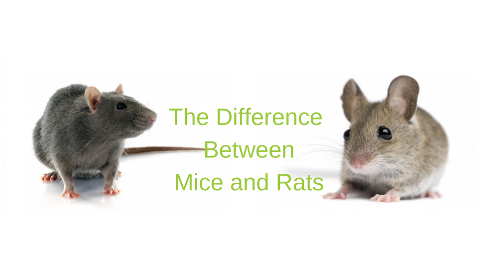 Differences between Mice and Rats Awesomepest