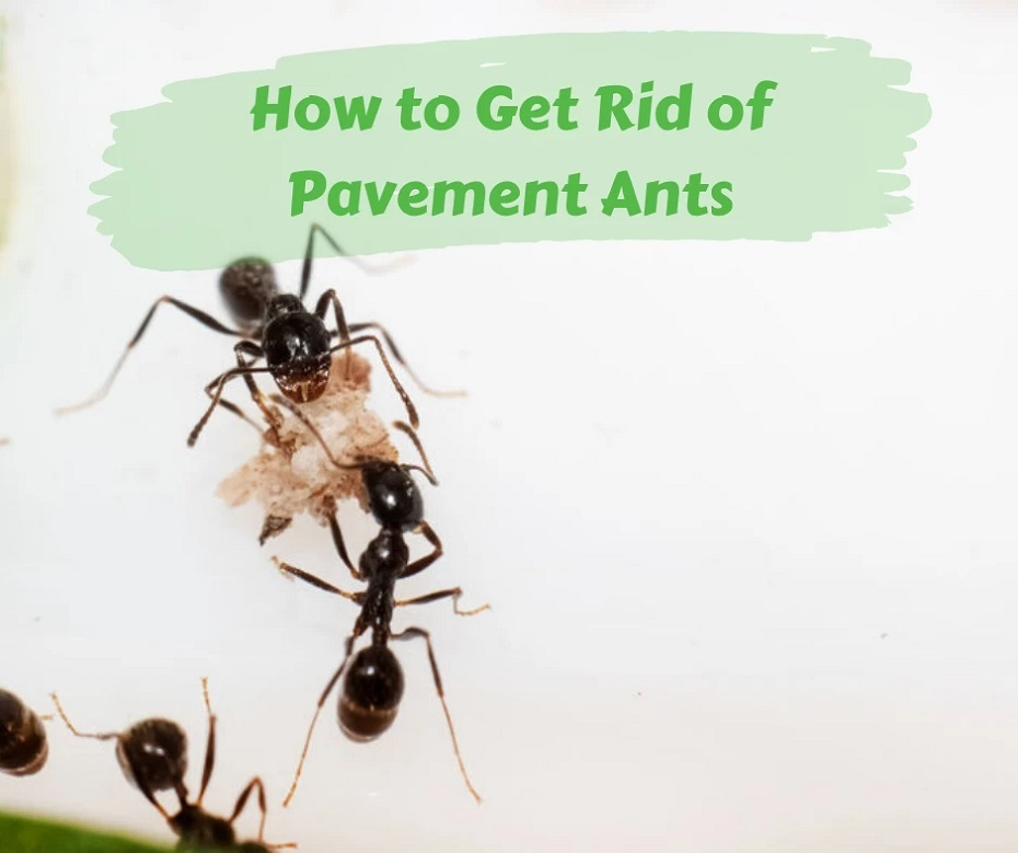 Get Rid of Pavement Ants Awesomepest