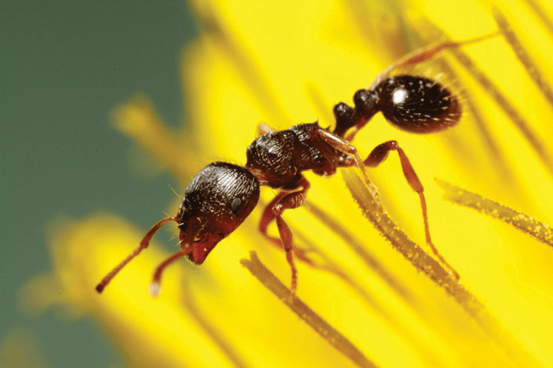 Habitates of Pavement Ants Awesomepest
