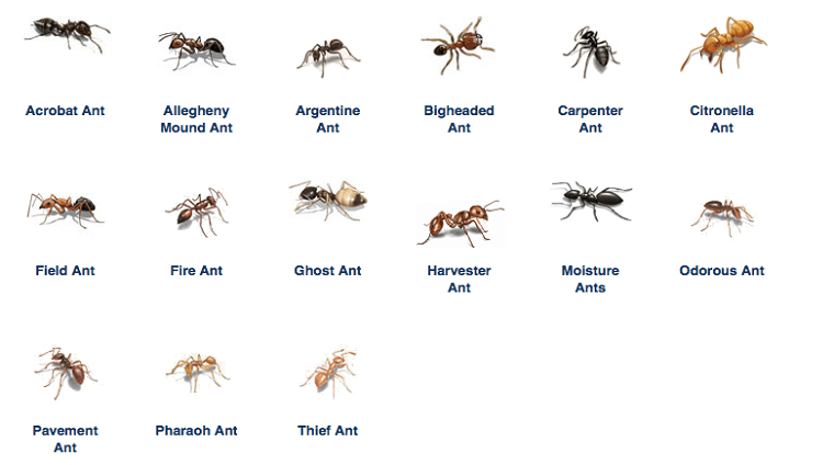 Types of Ants Awesomepest