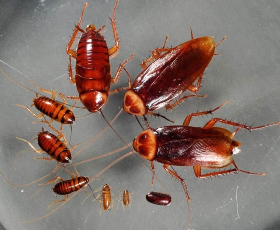 Cockroaches lifecycle Awesomepest