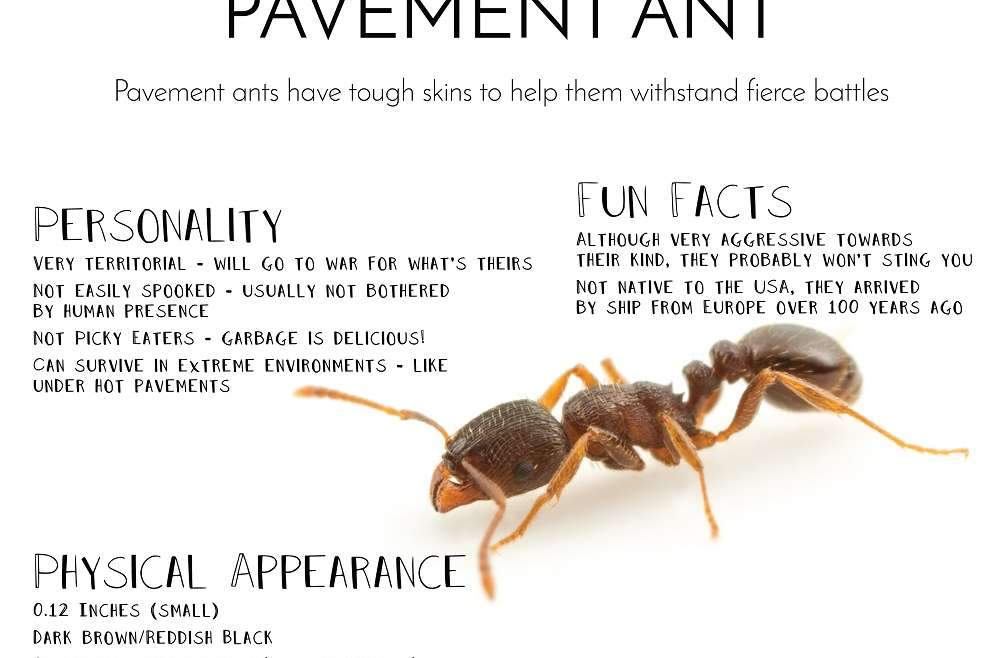 Physical Appearance of Pavement Ants AwesomePest
