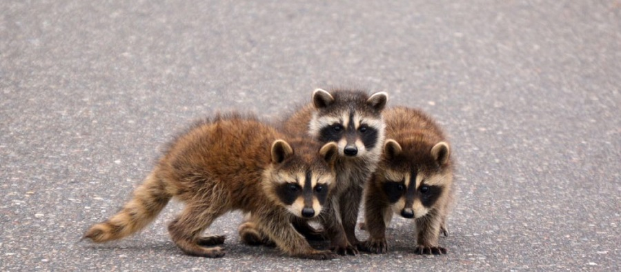 Raccoons Control Services Vaughan Awesomepest
