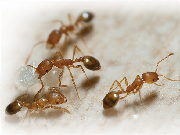 Remove Pharaoh Ants Awesomepest
