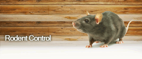 Rodent Control Services Awesomepest