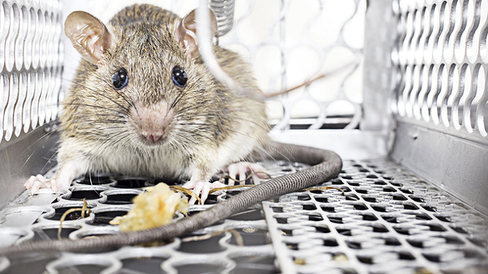 Rodents Control Services Vaughan Awesomepest